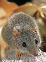yellow_footed_antechinus.jpg